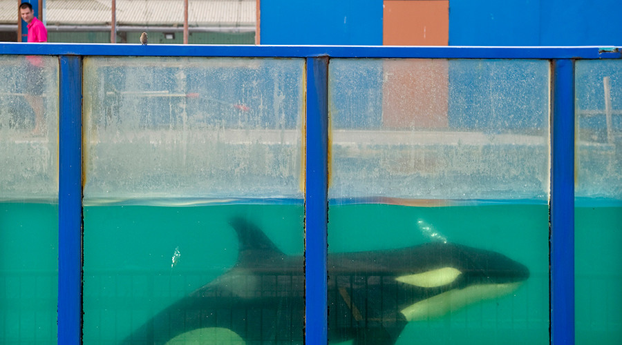 Suspected suicide attempt by SeaWorld Orca shocks tourists (VIDEO)