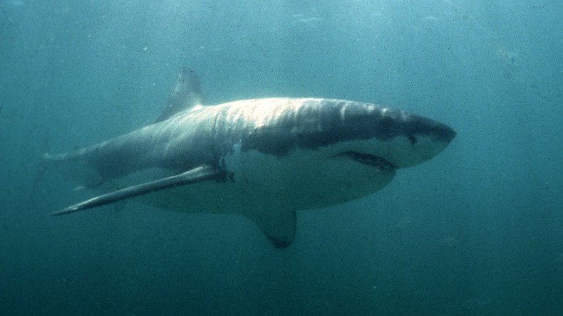 'Sharktivity' app launched to detect great whites swimming off coast of Cape Cod