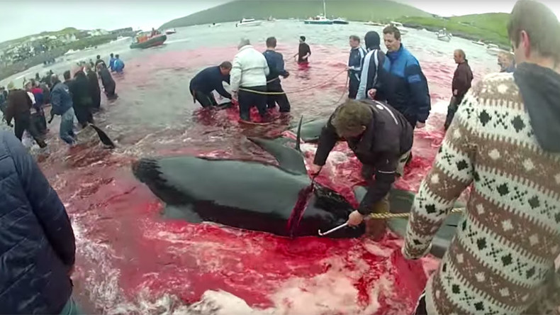 Water turns red as Faroe Islanders slaughter dozens of whales by hand (GRAPHIC PHOTOS)