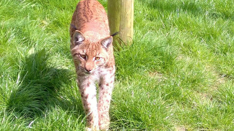 Lynx on the loose: Massive 4-day hunt for elusive big cat after zoo break
