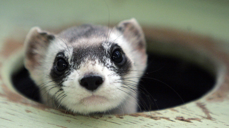 Vaccine-laden M&M's to be distributed via drone for endangered ferrets