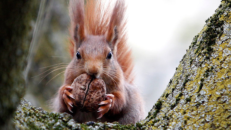 Pack of squirrels attack Cornish child, leaving him pouring blood