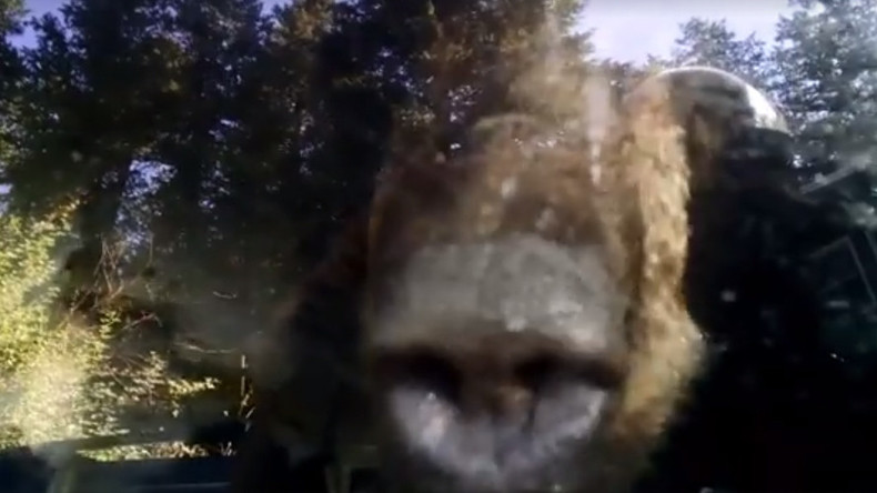 Forest felon: Carjacking bear found trapped in Colorado vehicle (VIDEO)