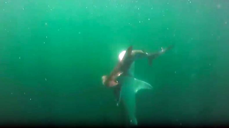 Hammerhead vs tiger shark: Ferocious undersea battle caught on camera (VIDEO)