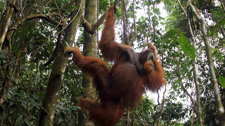 Orangutan wows scientists by aping human speech