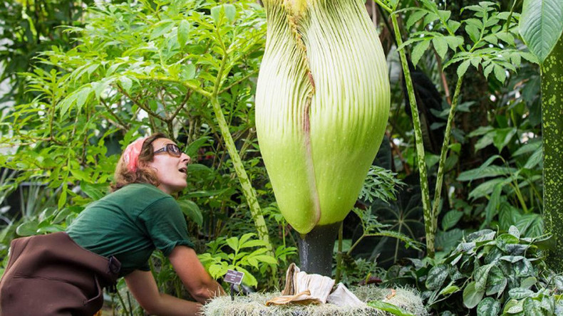 A rare 'corpse flower' is blooming in New York and it stinks (VIDEO, PHOTOS)