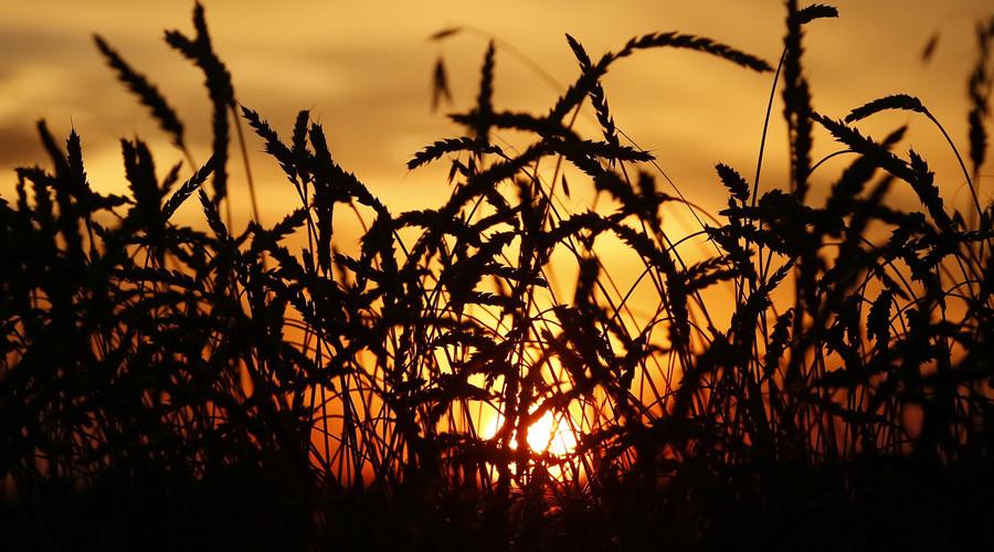 Russia set for record grain production in 2016 - UN