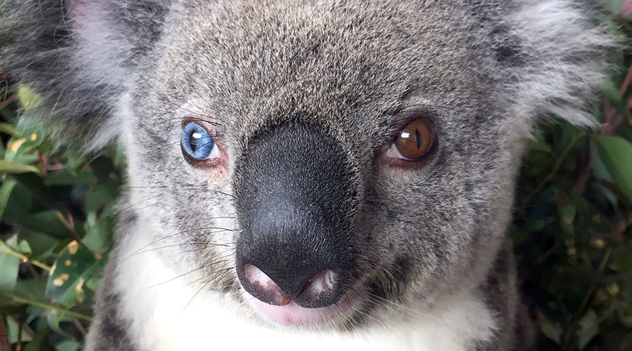 Stars in her eyes: 'Bowie the koala' rocks music visionary's iconic gaze