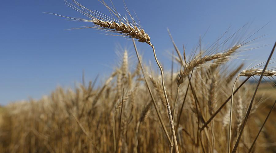 Unauthorized GMO wheat plants found growing in Washington state