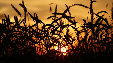 Ears of wheat are seen during sunset  in the village of Solgon, southwest from Krasnoyarsk, Russia © Ilya Naymushin