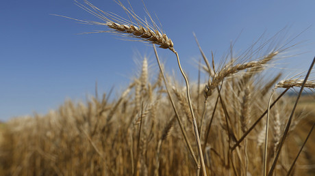 Unauthorized GMO wheat plants found growing in Washington state