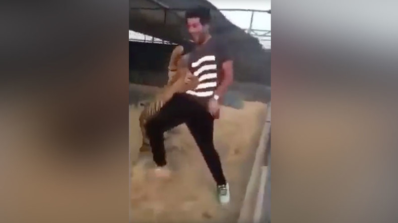 Tiger in Saudi Arabia attacks man after he tries to play with it (VIDEO)