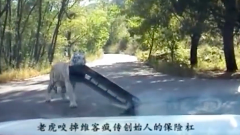 Tiger strikes again at Beijing park where woman was mauled to death (VIDEO)