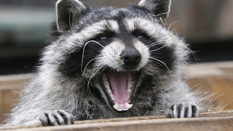 Prankster ties 'get well soon' balloon to road-kill raccoon (PHOTO)