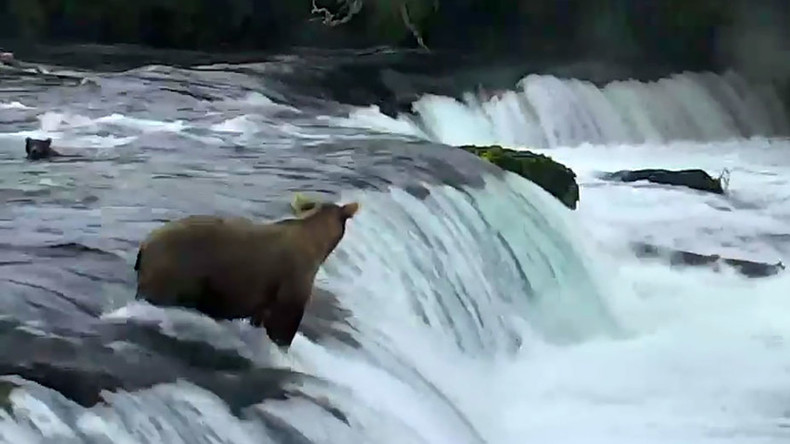 Mama bear rushes to save her babies from Alaskan waterfall (VIDEO)