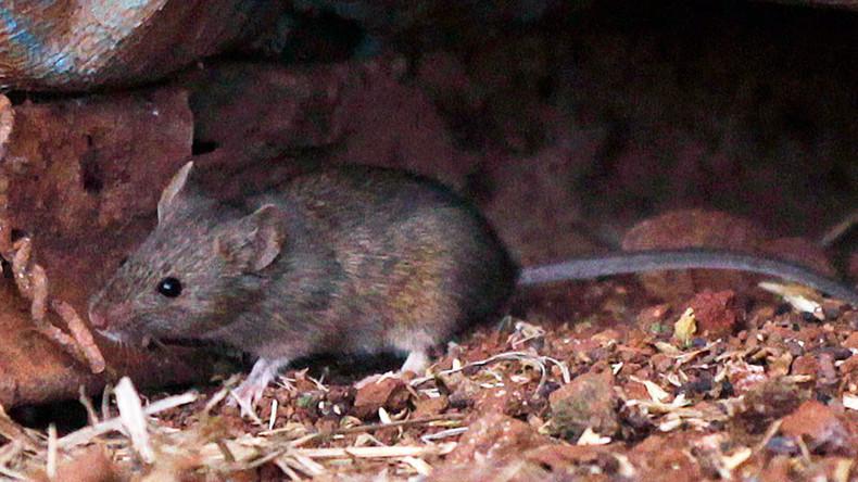'Super tough' mice could stalk London Underground's night trains