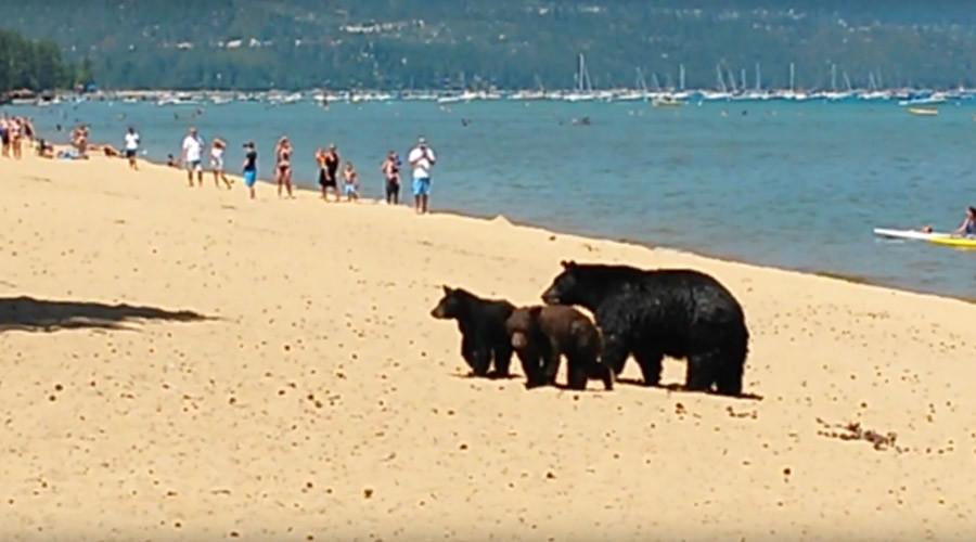 Three bears invade packed Lake Tahoe beach during California drought (VIDEO)