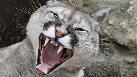 'Like owning a dog': Cougar kept as pet in Russian apartment (VIDEO)