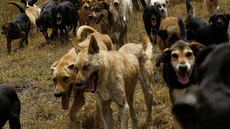 Pack of 50 stray dogs attack, partly eat elderly woman at Indian beach
