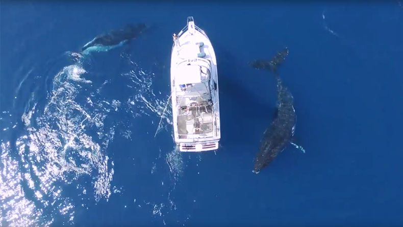 Breathtaking footage shows humpback whales circling boat (VIDEO)