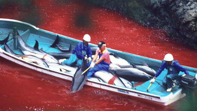 'Let the dolphin games begin': Gruesome Japanese cove hunt spills first blood