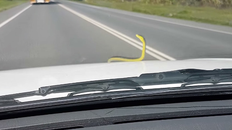 Live snake terrifies passengers after hitching ride on hood of car (VIDEO)