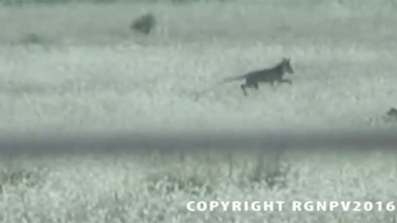 'Extinct' Tasmanian Tiger caught on camera? (VIDEO)