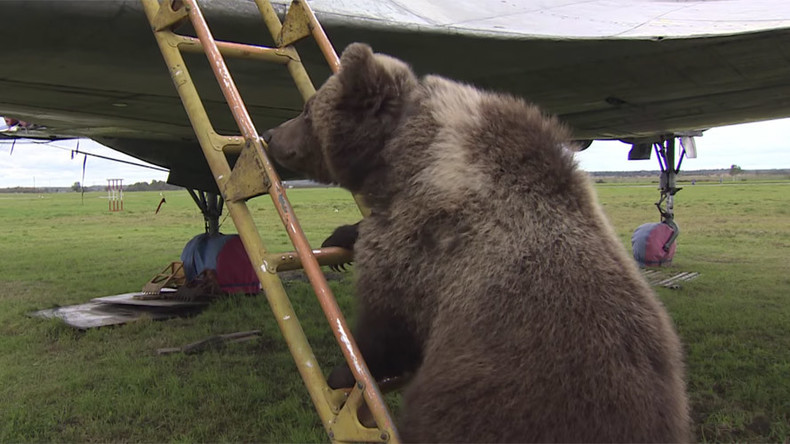 Bear witness to the walking stereotype: Russian airfield adopts cub (VIDEO)
