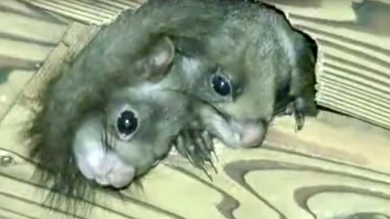 Fake or Freak? Footage of 2-headed squirrel driving viewers nuts
