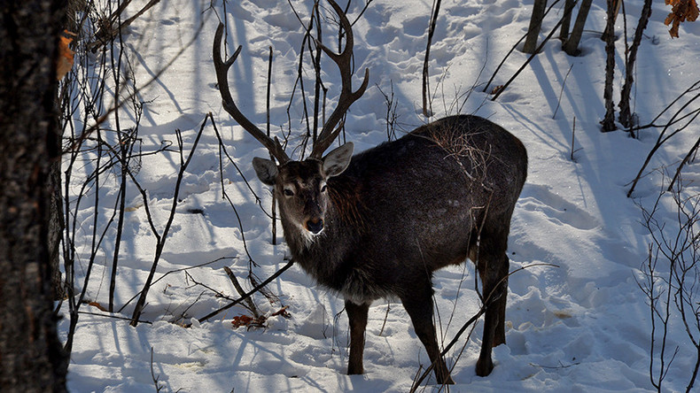 Rudolf at risk! 250,000 reindeer to be culled in Siberia officials' plan to fight anthrax