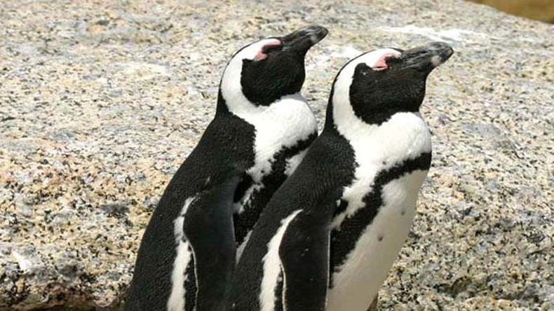Hey Buddy: Search continues for endangered penguin, while two charged in SA