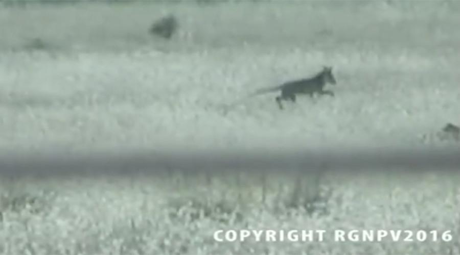 'Extinct' Tasmanian Tiger caught on camera? (VIDEO)