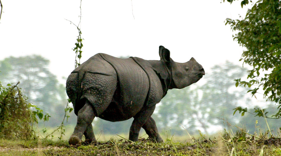 Roaming rhino becomes Nepalese town's most popular visitor (VIDEO)