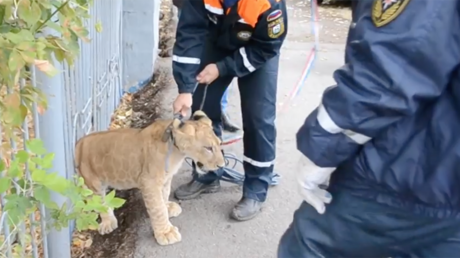 Walk on the wild side: Lion cub roams Russian city's streets, poses for pics with passersby (VIDEO)