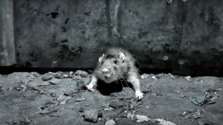 Ah rats! Infestations soar in posh Stockholm neighborhoods as poison fails