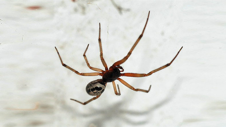 Horny spiders on sex rampage through British homes