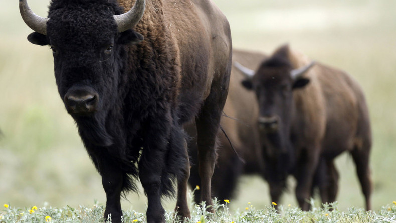 Ice Age bison-cattle hybrid did exist, DNA evidence shows