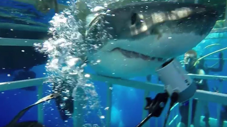 Great whites break into diving cages in Gulf of Mexico (VIDEOS)