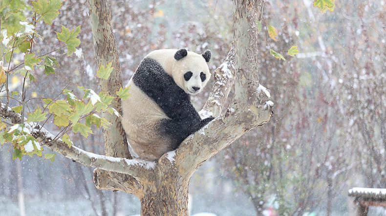 This panda got very excited after seeing snow for the first time (VIDEO)