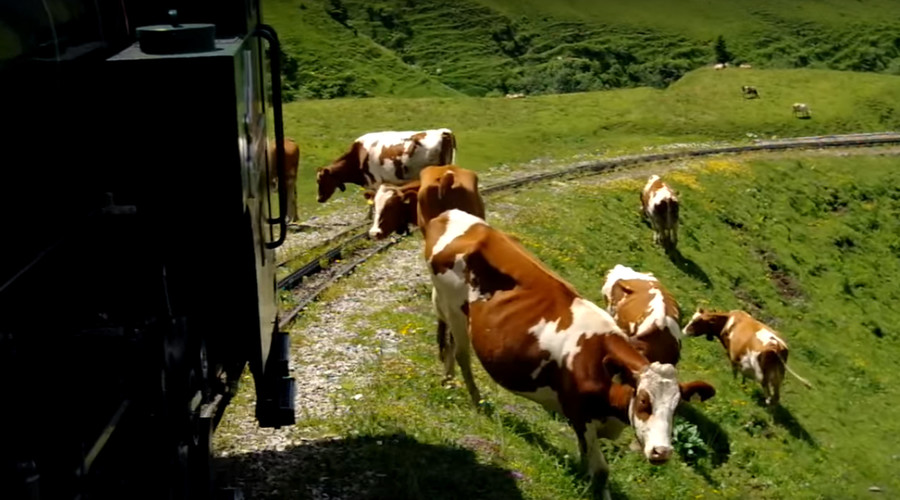Train kills 11 cows, leaves 15 missing & causes Arsenal fans to miss game