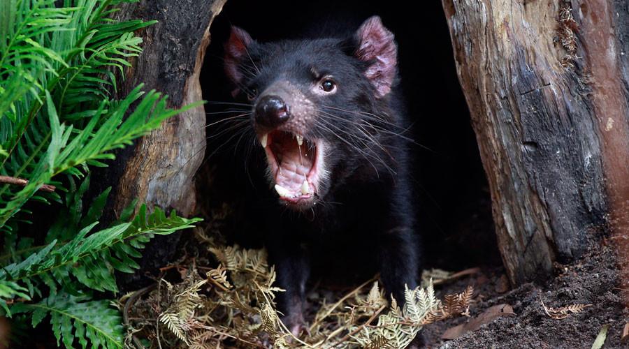 Tasmanian devil's milk could be key to combating drug-resistant superbugs – study