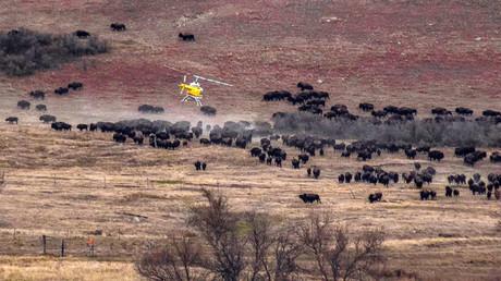 'Ancestors are with us': Wild buffalo stampede North Dakota pipeline protest (VIDEOS)