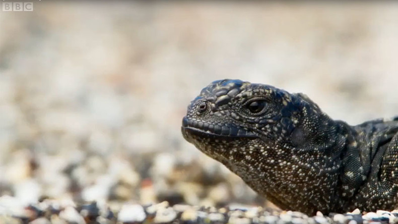 Lizard battles onslaught of snakes in nerve-shredding death chase (VIDEO)