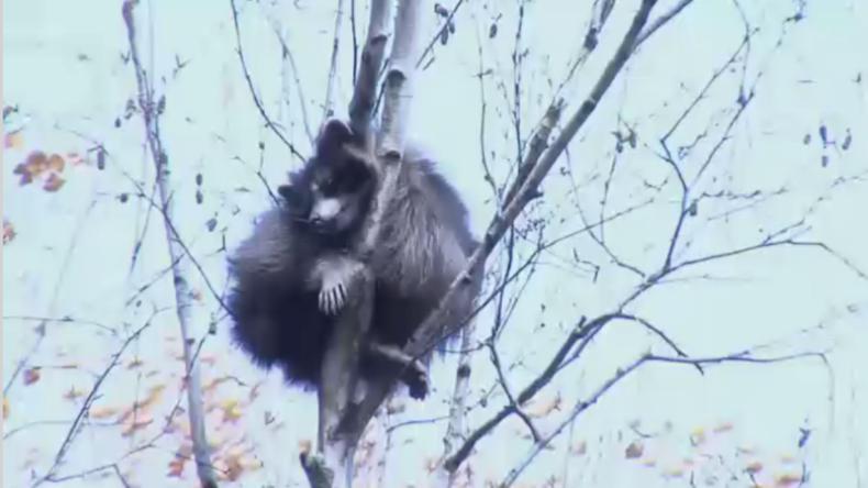 Reckless raccoon flings himself from treetop as rescue bid goes wrong (VIDEO)