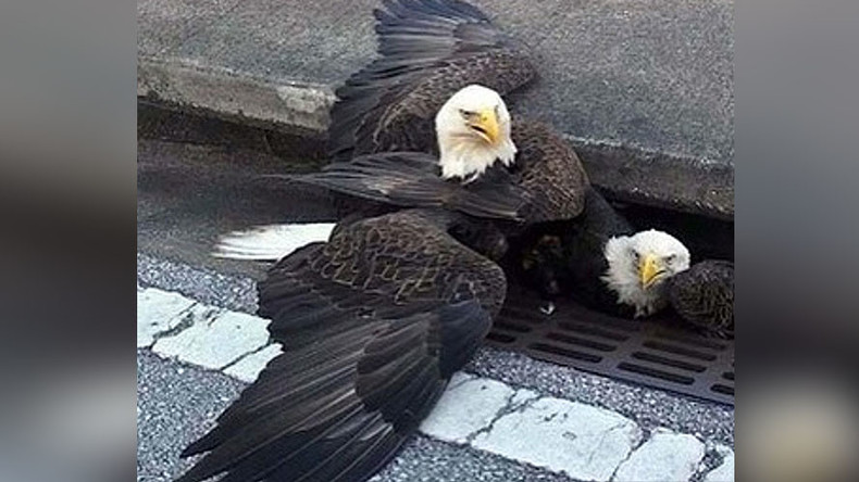 Relatable bald eagle saved from storm drain in a dramatic rescue (VIDEO)