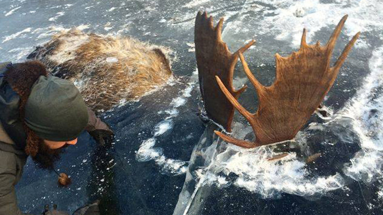 Man finds 2 moose frozen mid-fight in Alaskan river (PHOTOS)