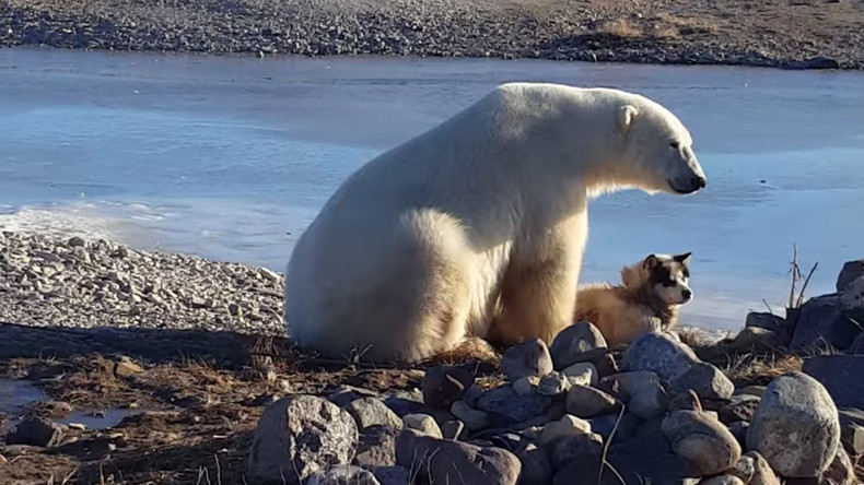 Polar bear cuddles dog – but incredible viral footage masks dark side (VIDEO)