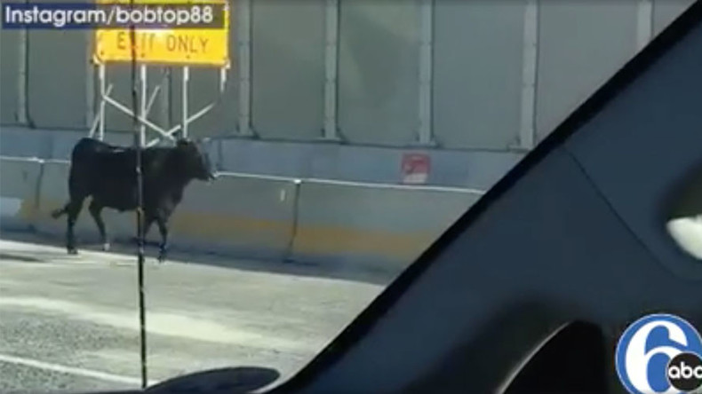 550lb bull flees slaughterhouse, stops traffic