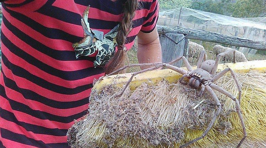 Arachnophobes look away: Giant huntsman spider nicknamed Charlotte discovered in Australia (PHOTO)
