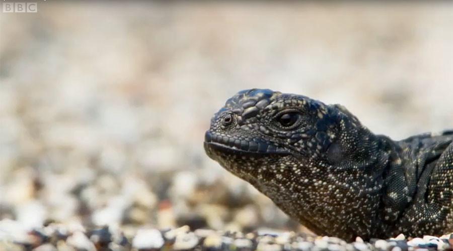 Lizard battles onslaught of snakes in nerve-shredding death chase (VIDEO)